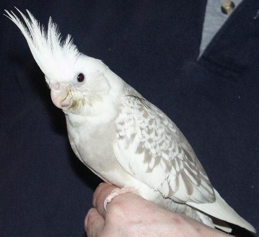 Whiteface Pearl Cockatiel 2cockatiels